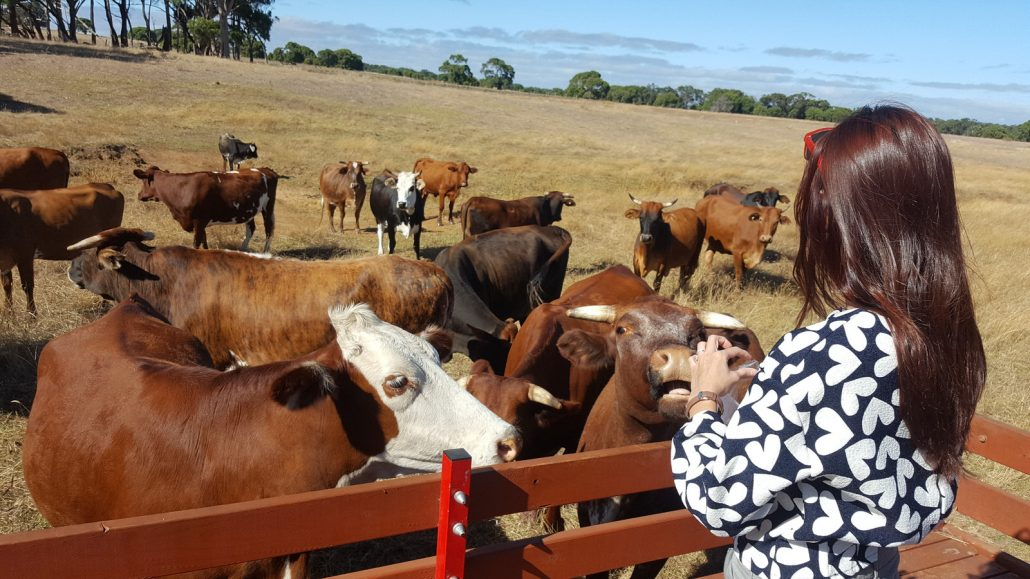 Sunflower Farmstay Australia Tractor Cow Feeding